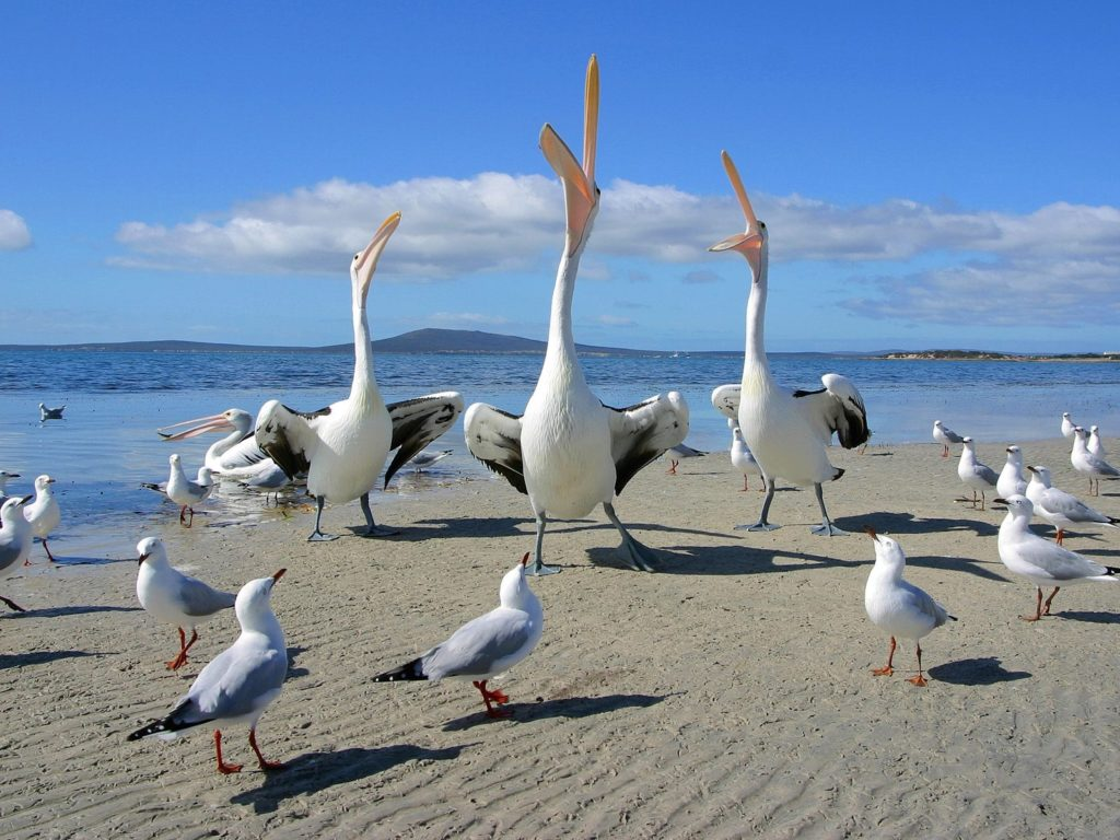 Beggars Pelicans and Seagulls
