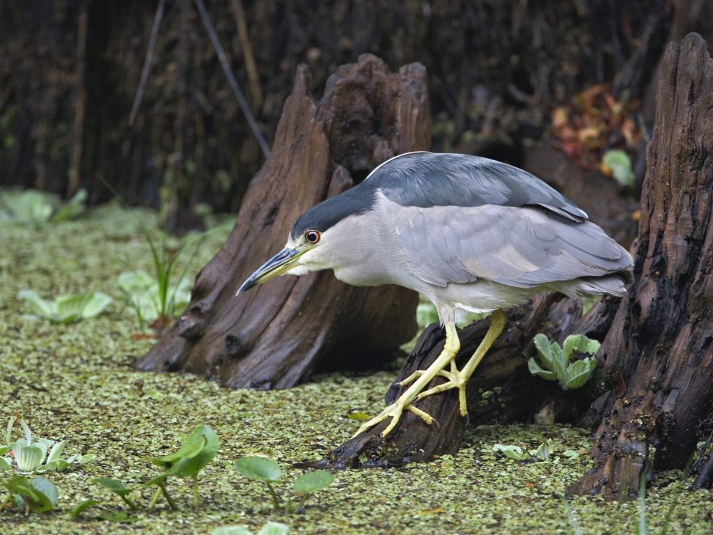 Black Crowned Night Heron Fishing