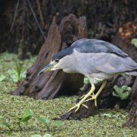 Black Crowned Night Heron Fishing