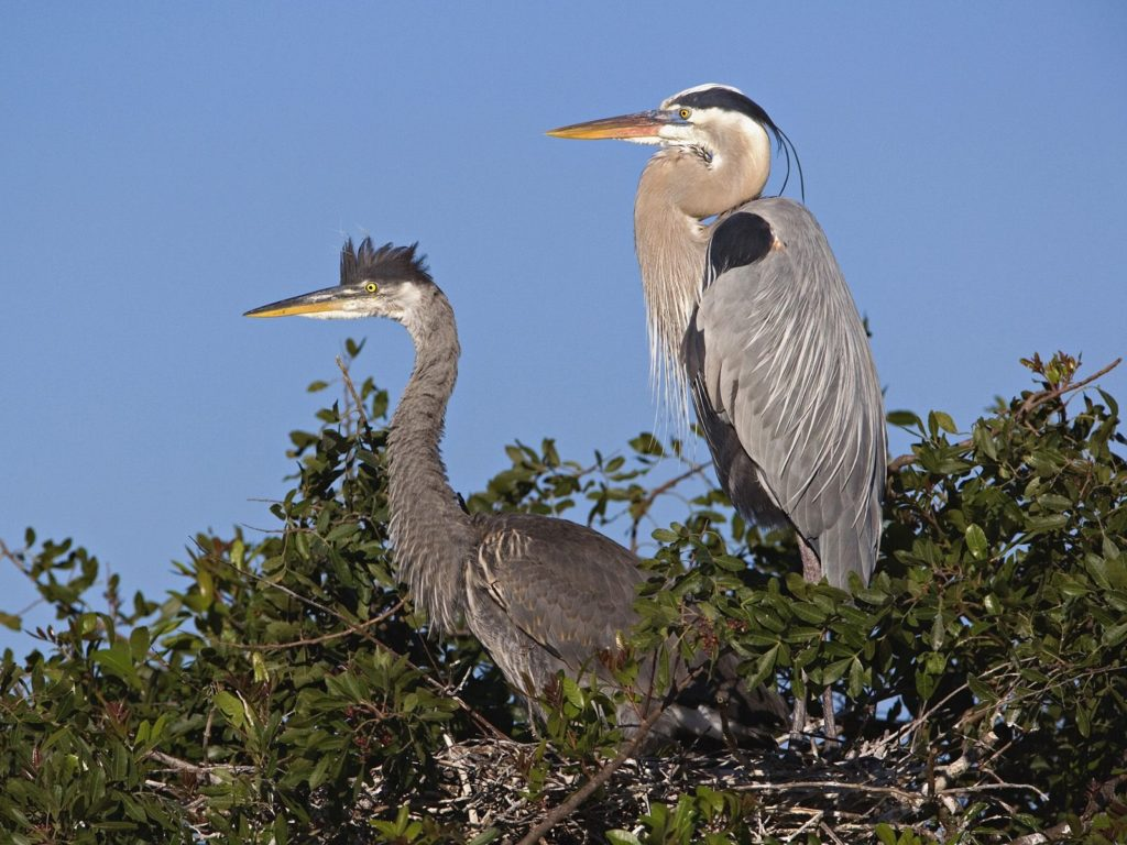Great Blue Herons at Nest