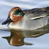 Birds - Green Winged Teal