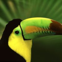 Birds - Keel Billed Toucan