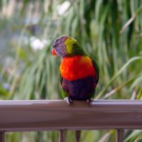 Lorikeet Noosa Queensland