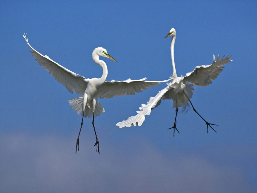 Male Great Egrets Fighting in Flight