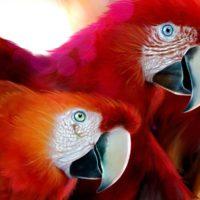 Parrots drawing