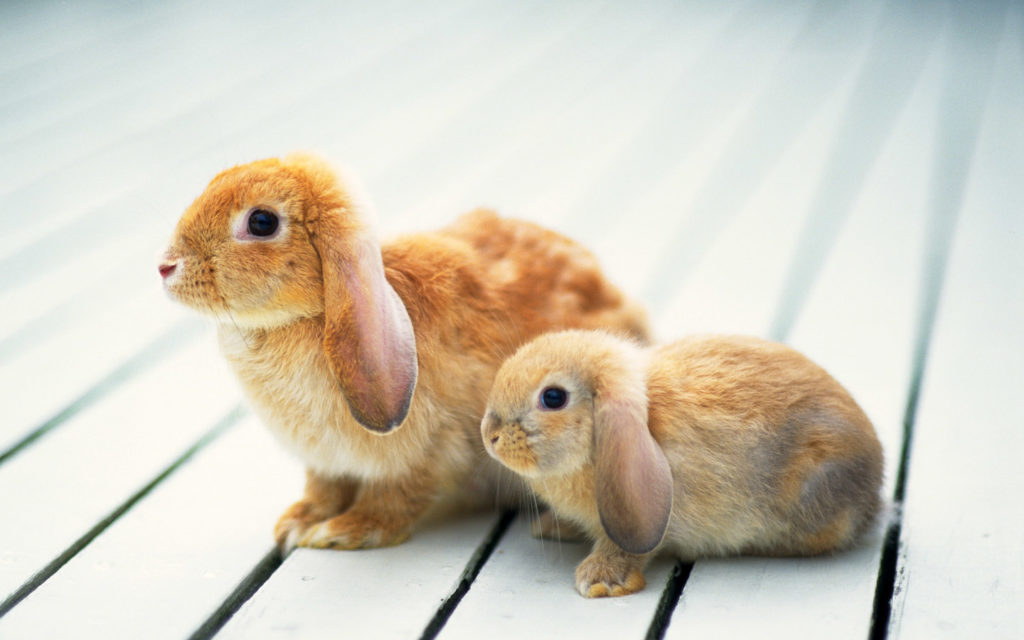 Rabbits Wallpaper
