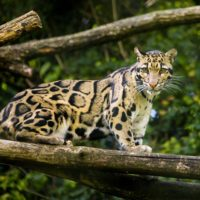 Clouded leopard Photography